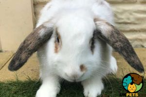 English Lop Dogs Breed
