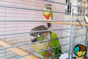 Conure for Rehoming