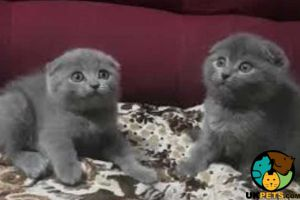 Available Scottish Folds