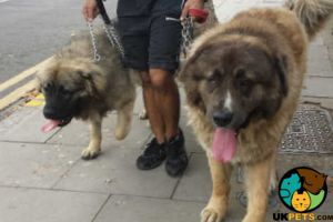 Caucasian Shepherd Dogs For Stud