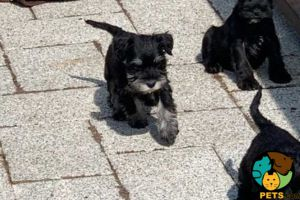 Available Miniature Schnauzers
