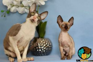 Cornish Rex For Sale in the UK