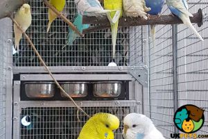 Budgerigar Rabbits Breed