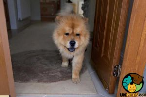 Chow Chow Advertisement UK Pets