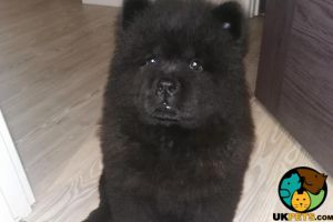 Chow Chow for Rehoming