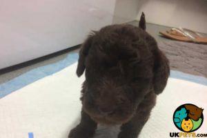 Bedlington Terrier for Rehoming