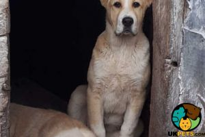 Cute Central Asian Shepherd For Sale