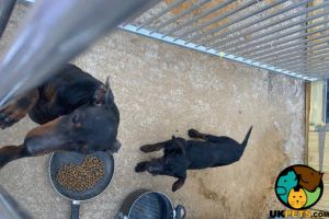 Manchester Terriers For Sale