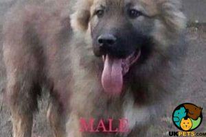Caucasian Shepherd Dog for Rehoming