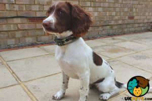 English Springer Spaniel Online Listings