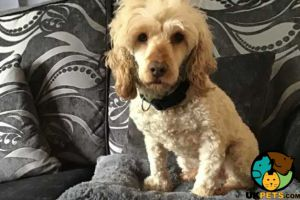 Toy Poodle For Sale in Lodon