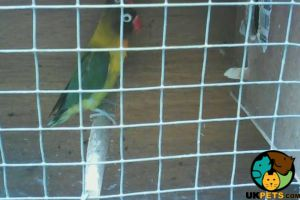 Lovebird for Rehoming