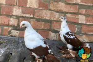 Pigeon Dogs Breed