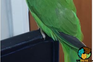 Parrot For Sale in Lodon