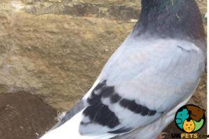 Pigeon Online Ad