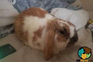 Available French Lops