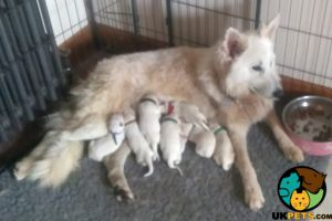 Available White Swiss Shepherds