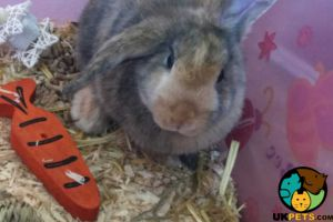 English Lop Online Listings