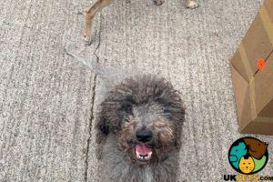 Bedlington Terrier Online Listings