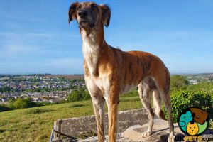 Available Lurchers