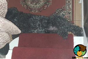 Kerry Blue Terrier Advertisement UK Pets