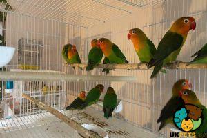 Lovebird For Sale in the UK