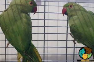 Parakeet For Sale in Great Britain