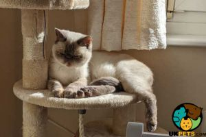 Exotic Shorthair Cats Breed