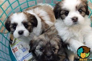 Lhasa Apso For Sale in Great Britain