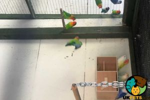 Lovebird For Sale in Lodon