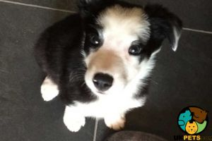 Border Collie For Sale in Great Britain