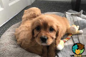 Cavapoo Advertisement UK Pets