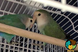 Available Lovebirds