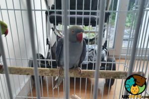 Parrot For Sale in the UK