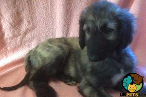 Afghan Hound For Sale