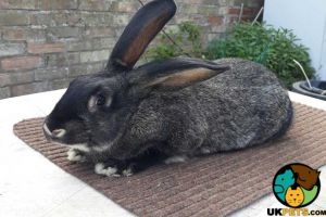 Flemish for Rehoming