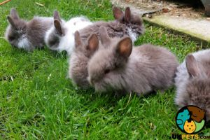 Lionhead Rodents Breed