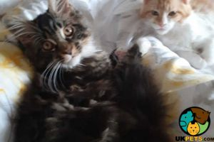 Maine Coon For Sale in Lodon