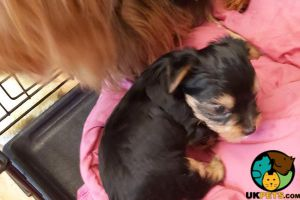 Yorkie poo For Sale in Great Britain