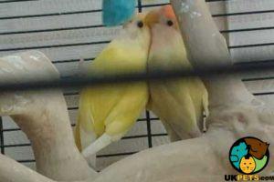 Lovebird Online Listings