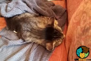 Available American Bobtails
