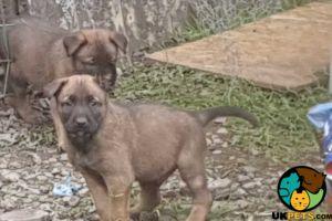 Belgian Shepherd Dogs For Sale