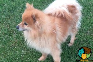 Pomeranian For Sale in Great Britain