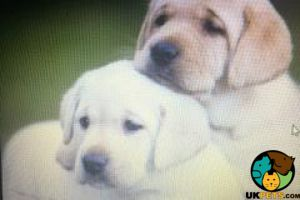Labrador Retriever Wanted in the UK