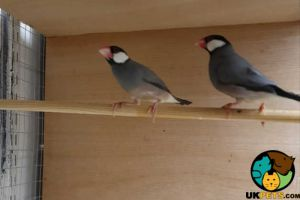 Finch For Sale in the UK