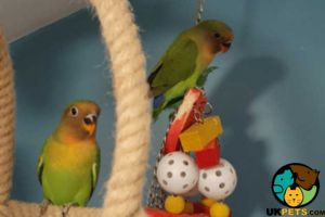 Lovebirds for Rehoming