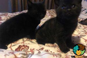 Tabby Cats Breed