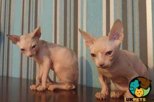 Sphynx Cats Breed