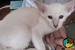 Cute Siamese For Sale