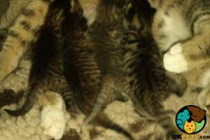 Cornish Rex Cats Breed